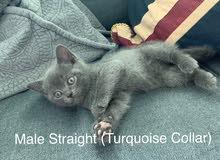 Scottish Fold & Scottish Straight Kittens
