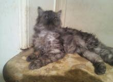 قطة شيراز قمر مطعمة وبتحب العب وهدى جدا خمس شهور للبيع