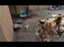 السلام عليكم صخلتين و35دجاجه للبيع الصخول 200والدجاج التك عل8