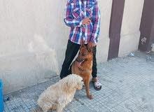 كلاب زينة