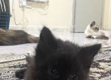 قطاو شيرازية للبيع