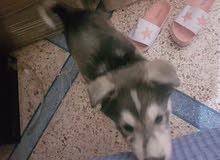 husky malamut / age: 3 mois