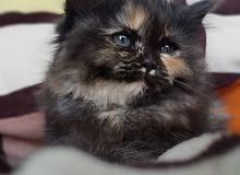 قطة شانشيلا لونج هير مكس شيرازي