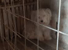 كلب زينة عمره5 اشهر