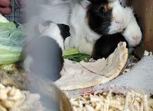 أرنب هندي جواز شغاله ويوجد صغار