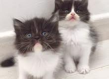 قطط هملايا وقطة شيرازي باندا