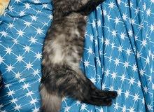 6 months old female Kitten