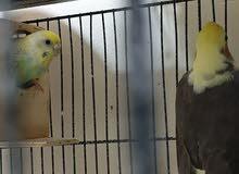 زوج كاسكو (صيد) زوج بادجي (صيد)  زوج روز (صيد) زوج طيور باكستانية وزوج بنقالي