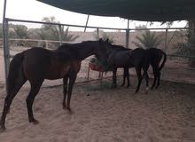 ثلاثة خيول للبيع في أبو ظبي