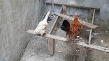 دجاجة وديج للبيع
