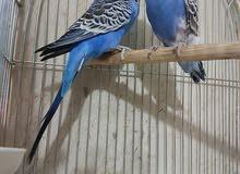زوج طيور حب إنجليزي مواليد2018