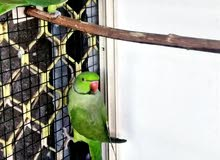indian ringneck pair for sale