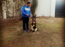 الكينج اكاديمى لتدريب وتاهيل جميع انواع الكلاب