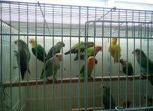 للبيع طيور الحب فشر