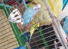 طيور حب الجوز  مع القفص