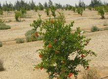ارض مساحتها 65 فدان منزرعه قابله للتجزئه