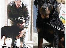 كلبين للبيع 1 روت وايلر 1 جولدن شوكلت