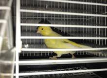 كناري للبيع Canary