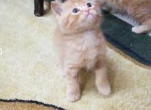 قطط للبيع بصحة ممتازة عمر 50 يوم شيرازي ب150 وسكوتش 250 مكاني بغداد