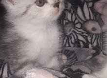 قطط مون فيس