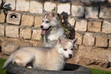pure husky