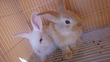 ارانب هولندية جميلة جدا