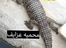 تمساح نيلي