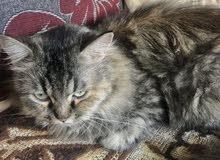 قطه شيارزيه