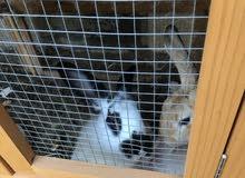 عندي ثلاث ارانب للبيع يرجى التواصل لمعرفة السعر للأرنب الواحد 2 اناث و ذكر 1