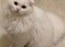 Male Scottish fold long hair kitten 5months old