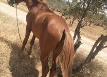 حصان انقليزي  عمر 3سنين ونص