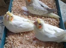 طيور كوكتيل لبيع