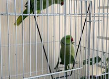 Green Ringneck Parrot and Free Cage