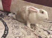 ارنب عمر السنة تقريبا للبيع