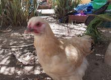 دجاج براهمه البيع