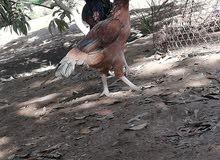 للبيع دجاجه