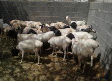 اعلان بيع خرفان    يتوفر لدينا دفعه جديده من الخرفان الصومالية والجدايه  الأ