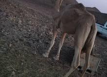 ناقه عمانيه حمراء طبيع
