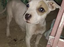 كلب بيتبول للبيع مصر الجديد