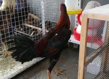 ديج دجاجة هراتي تركي رس اصلي دجاجة بياضة والديج يصعد السعر 120