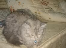 قطة  شيرازي شانشيلا للبيع