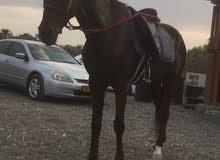 حصان للبيع مخصي  اوالبدل بفحل