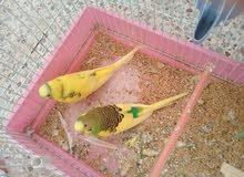 عصافير باقلينو