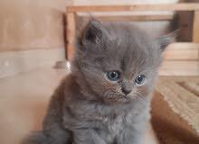 للحجز قطط صغيره مستويات عاليه