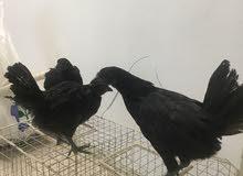 الدجاج الأسود الأندونيسي