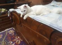 قط شيرازي عمر 8تشهر ذكر اليف جدا العوب