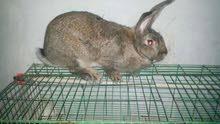 انتاج ارانب نوع تلاته ارباع جامبو