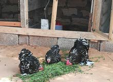 دجاجات 3 وفروج استرالي فولي