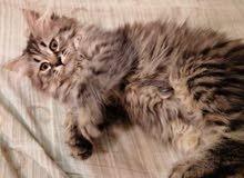 قط شيرازي أنثى للبيع مع أغراضها بأسرع وقت العمر اربع شهور