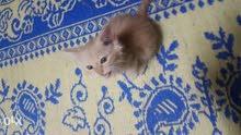 5 kittens persian for sale 5 قطط شيرازي للبيع